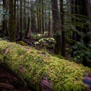 Eine Nahaufnahme eines kleinen Baumes, der aus der Rinde eines umgestürzten Baumes wächst.