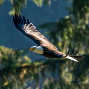 Ein Weißkopfseeadler fliegt durch die Weite des Toba Valleys.