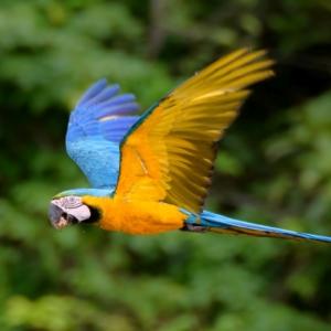 Eine Nahaufnahme von einem fliegenden Papagei.